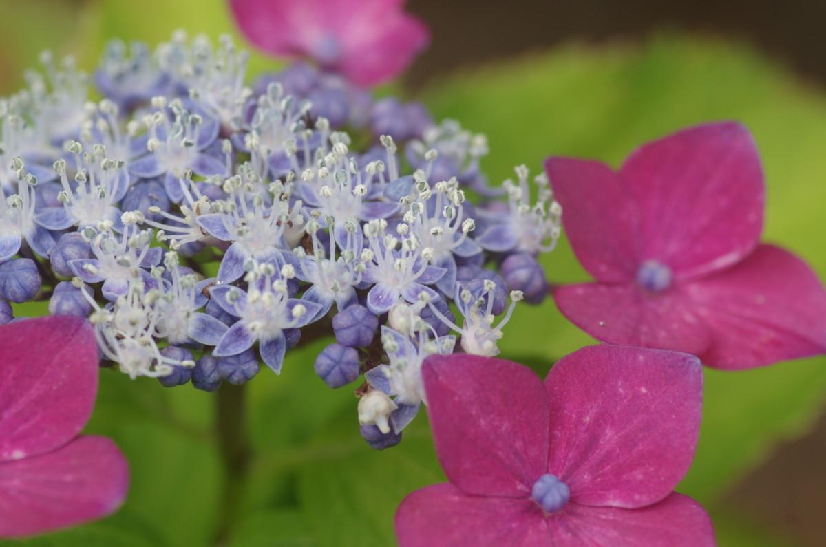 2015.06.23 紫陽花(あじさい)