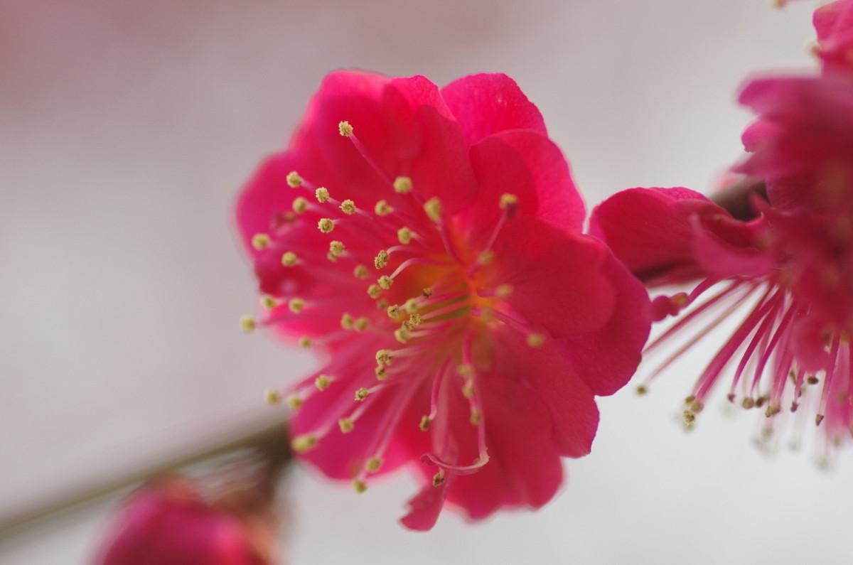 2013.03.15 紅梅(こうばい)
