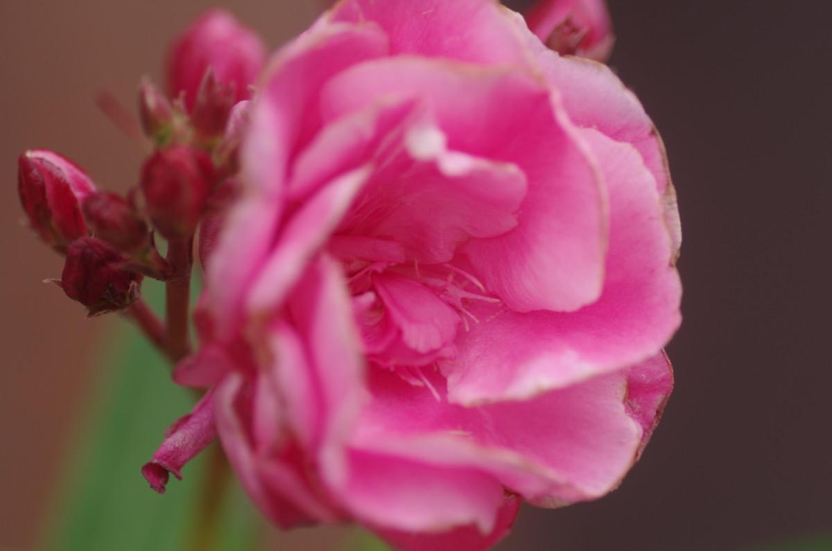 2014.07.01 夾竹桃(きょうちくとう)
