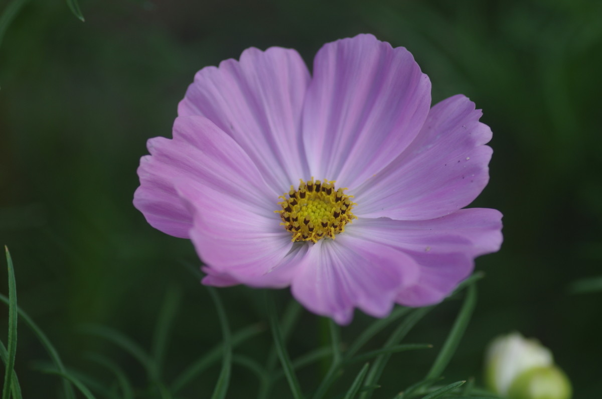 2014.09.13 秋桜(こすもす)
