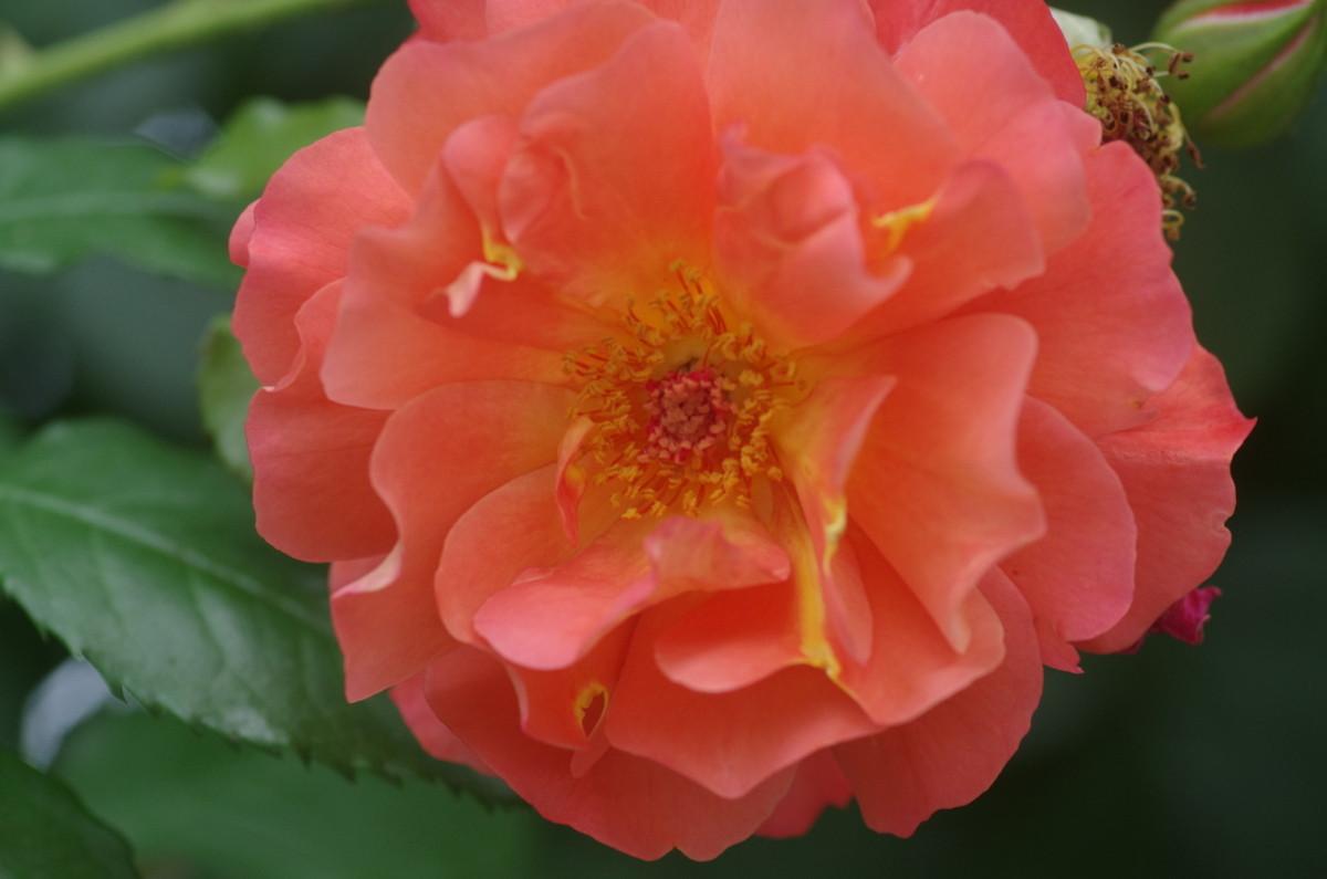 2014.06.02 薔薇(ばら)