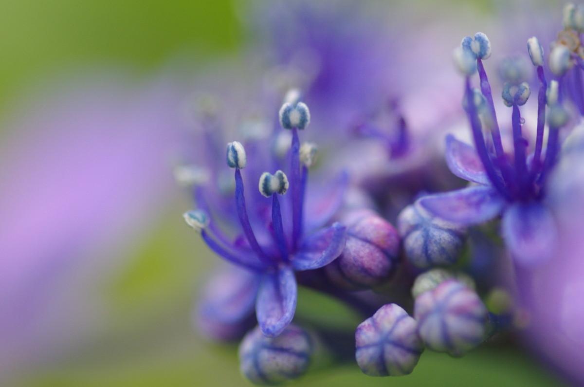2013.06.21 紫陽花(あじさい)