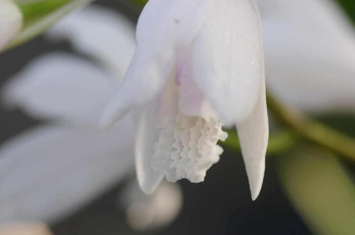 2013.05.09 紫蘭 (しらん)
