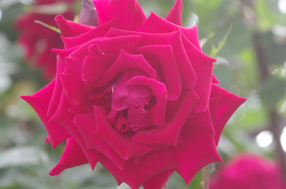 2014.06.03 薔薇(ばら)