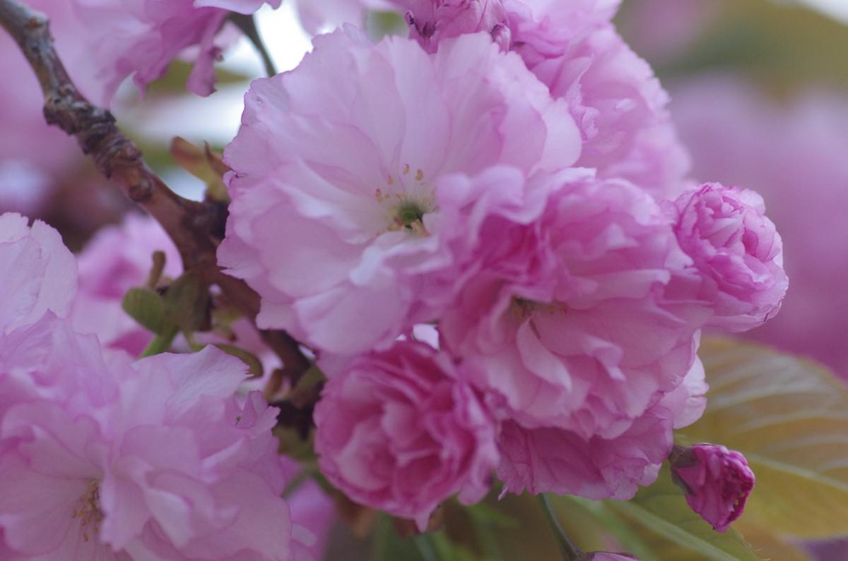 2013.04.14 八重桜(やえざくら)