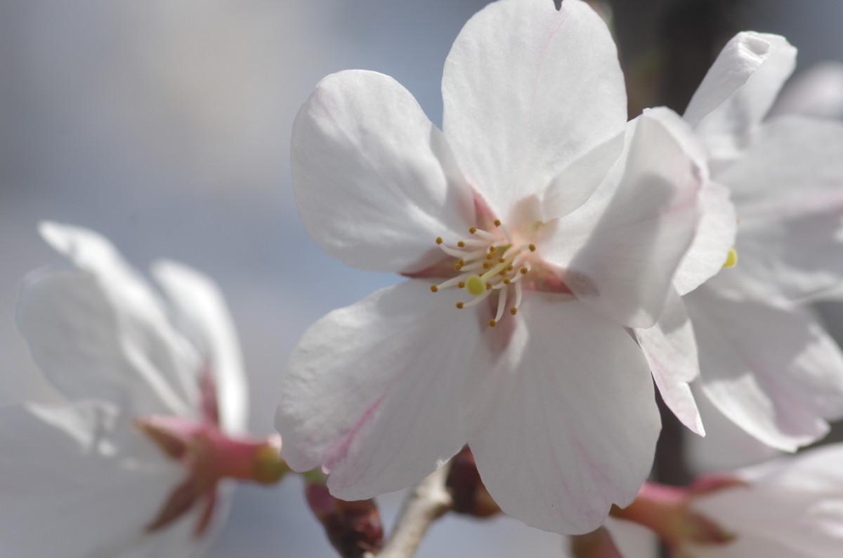2015.03.26 桜(さくら)