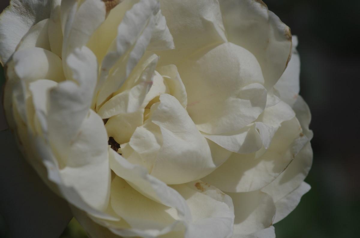 2015.06.30 薔薇(ばら)