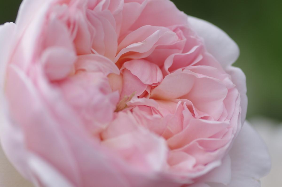 2014.05.23 薔薇(ばら)