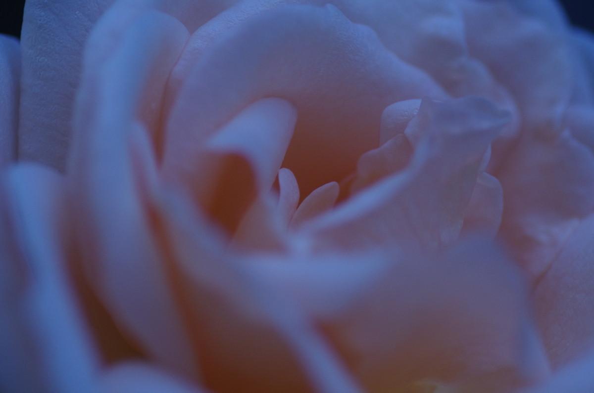 2013.12.03 薔薇(ばら)