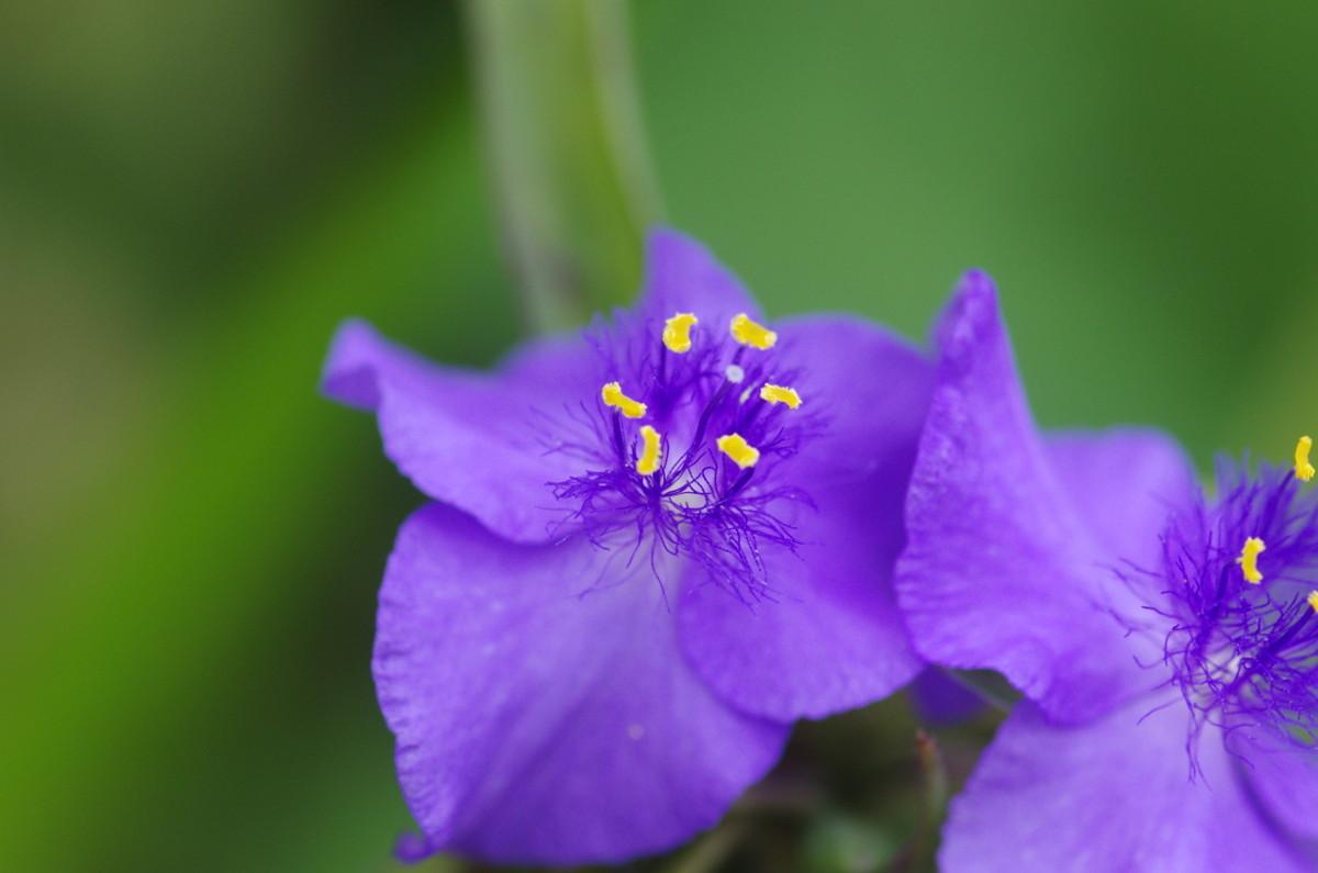 2013.07.14 紫露草(むらさきつゆくさ)