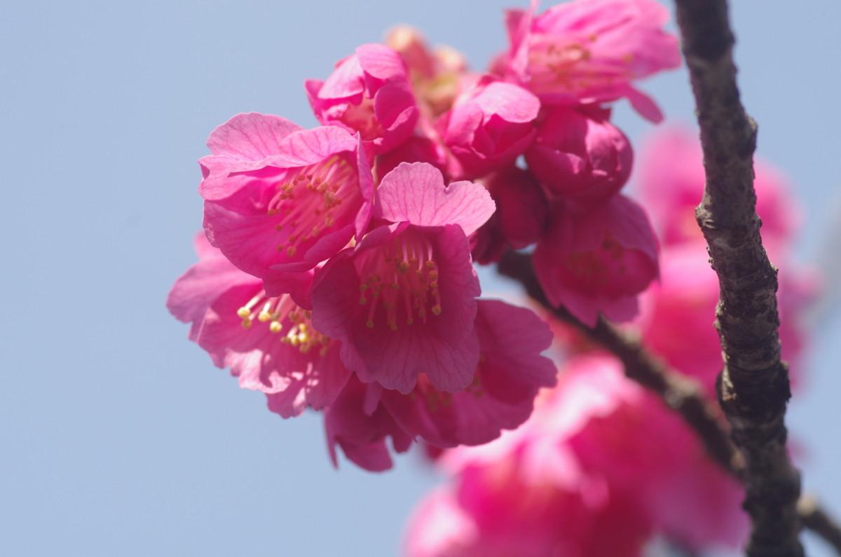 2015.03.20 寒緋桜 (かんひざくら)