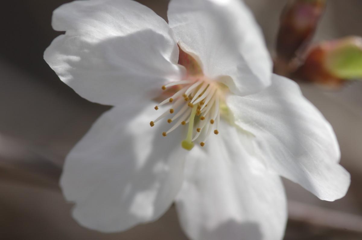 2015.03.22 桜(さくら)