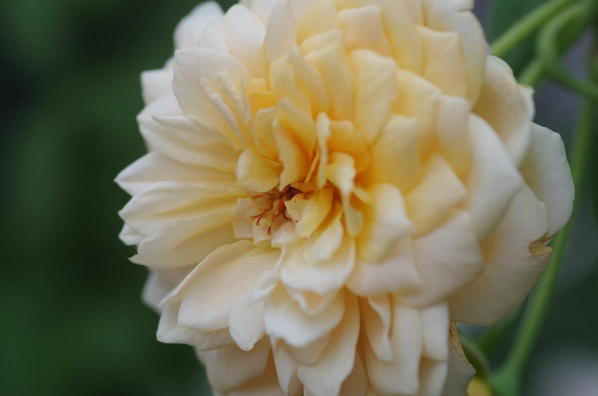 2013.08.30 薔薇(ばら)