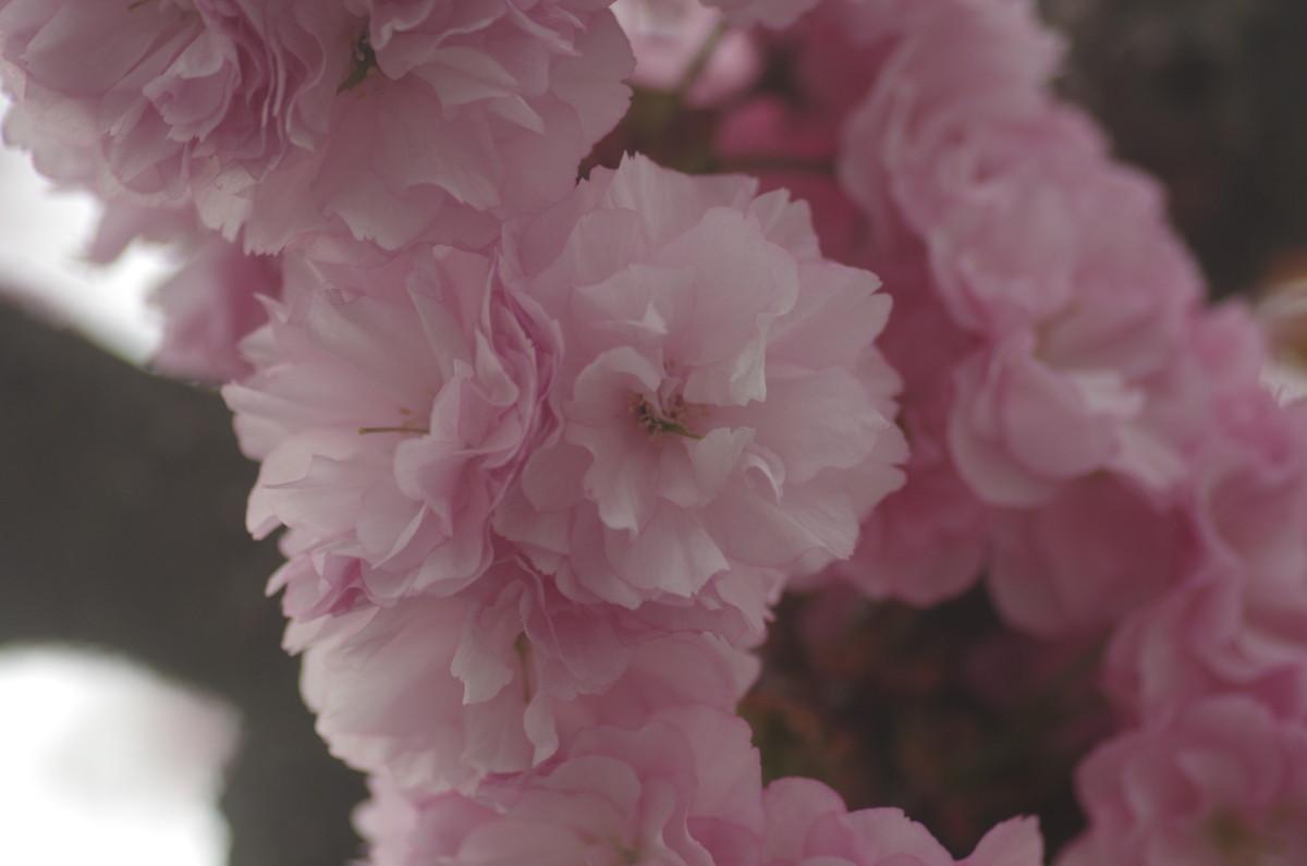 2014.04.26 八重桜(やえざくら)