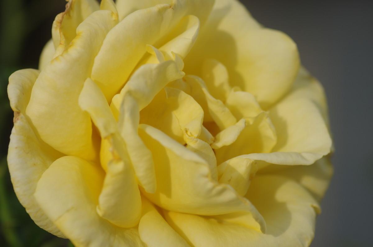 2015.06.15 薔薇(ばら)