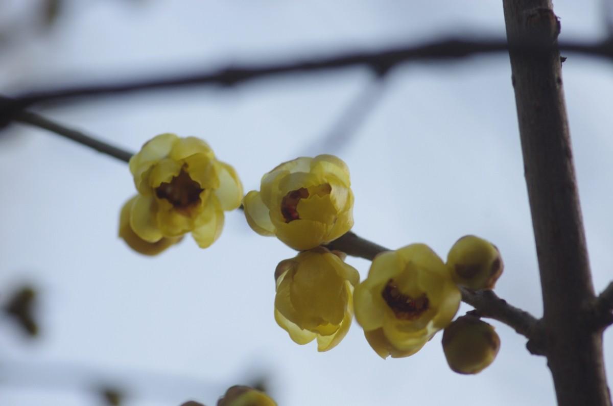 2013.01.16 蝋梅(ろうばい)