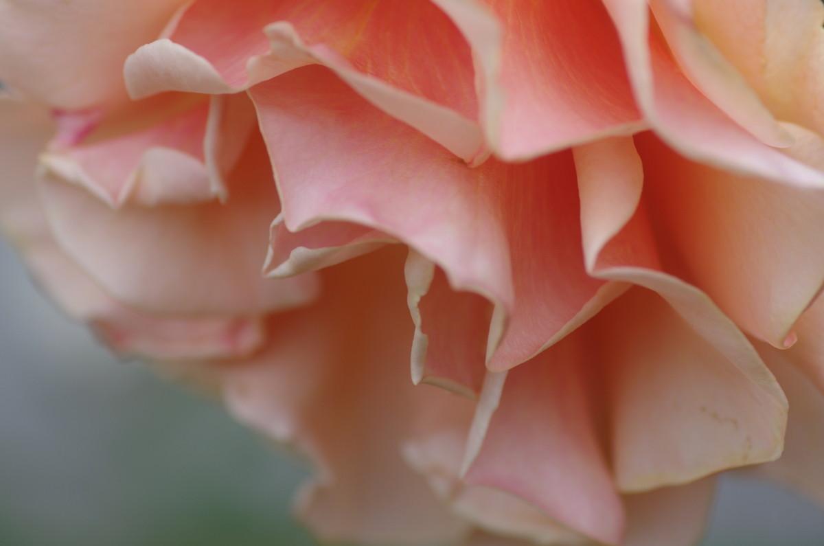 2014.05.26 薔薇(ばら)
