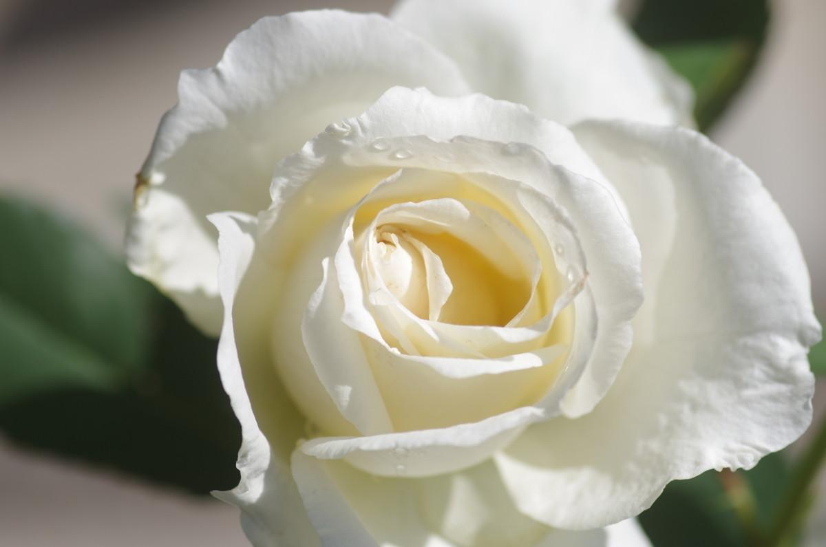 2015.05.14 薔薇(ばら)