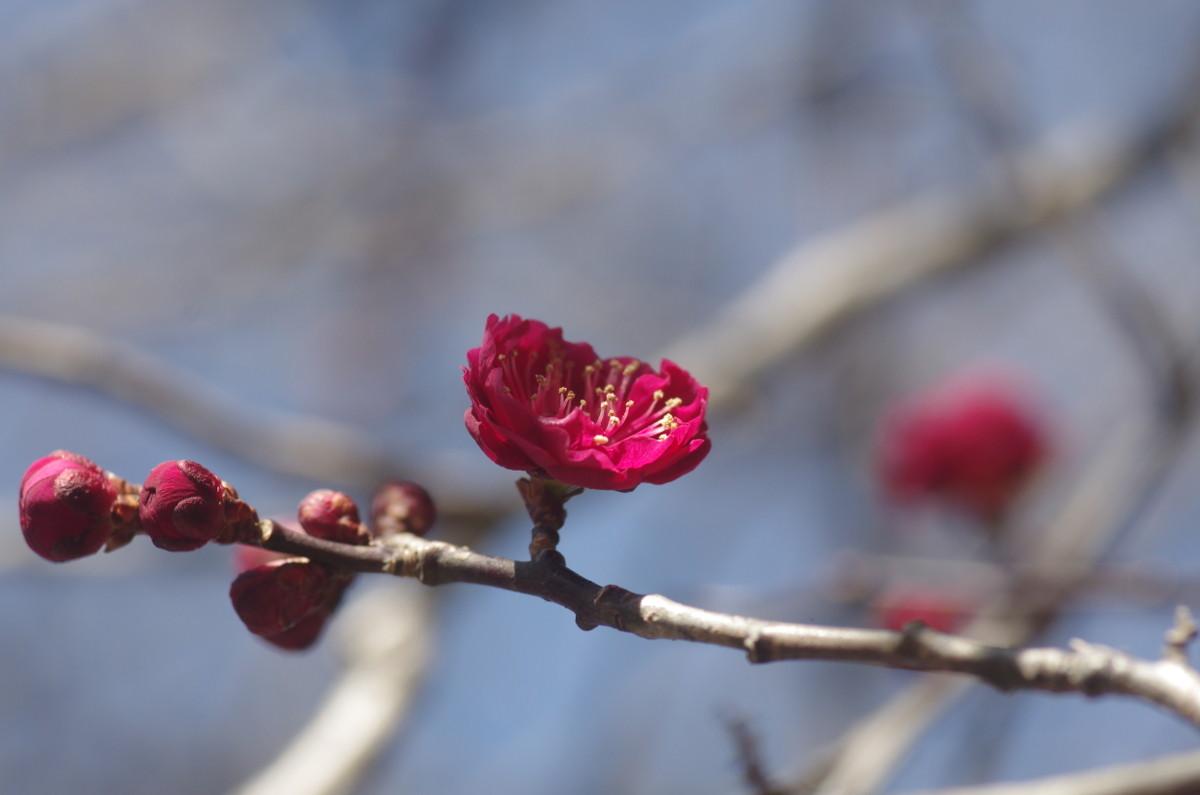 2015.02.14 紅梅(こうばい)