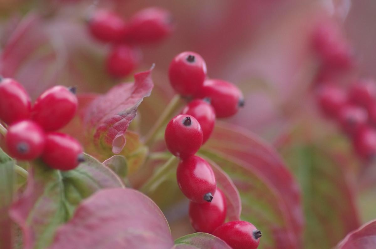 2014.11.20 花水木(はなみずき)