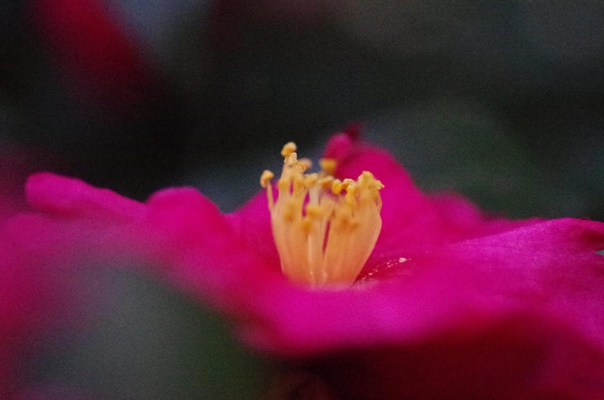 2012.12.26 山茶花(さざんか)