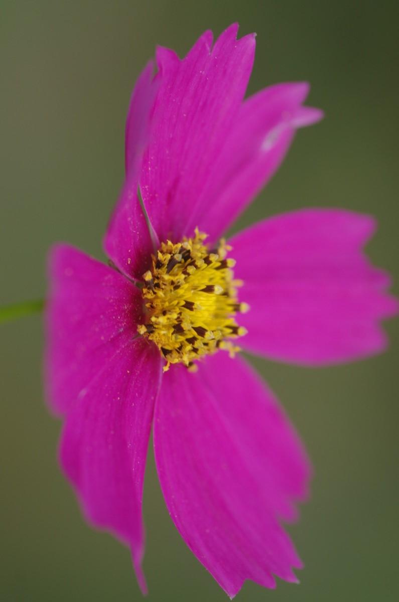 2014.10.05 秋桜(こすもす)