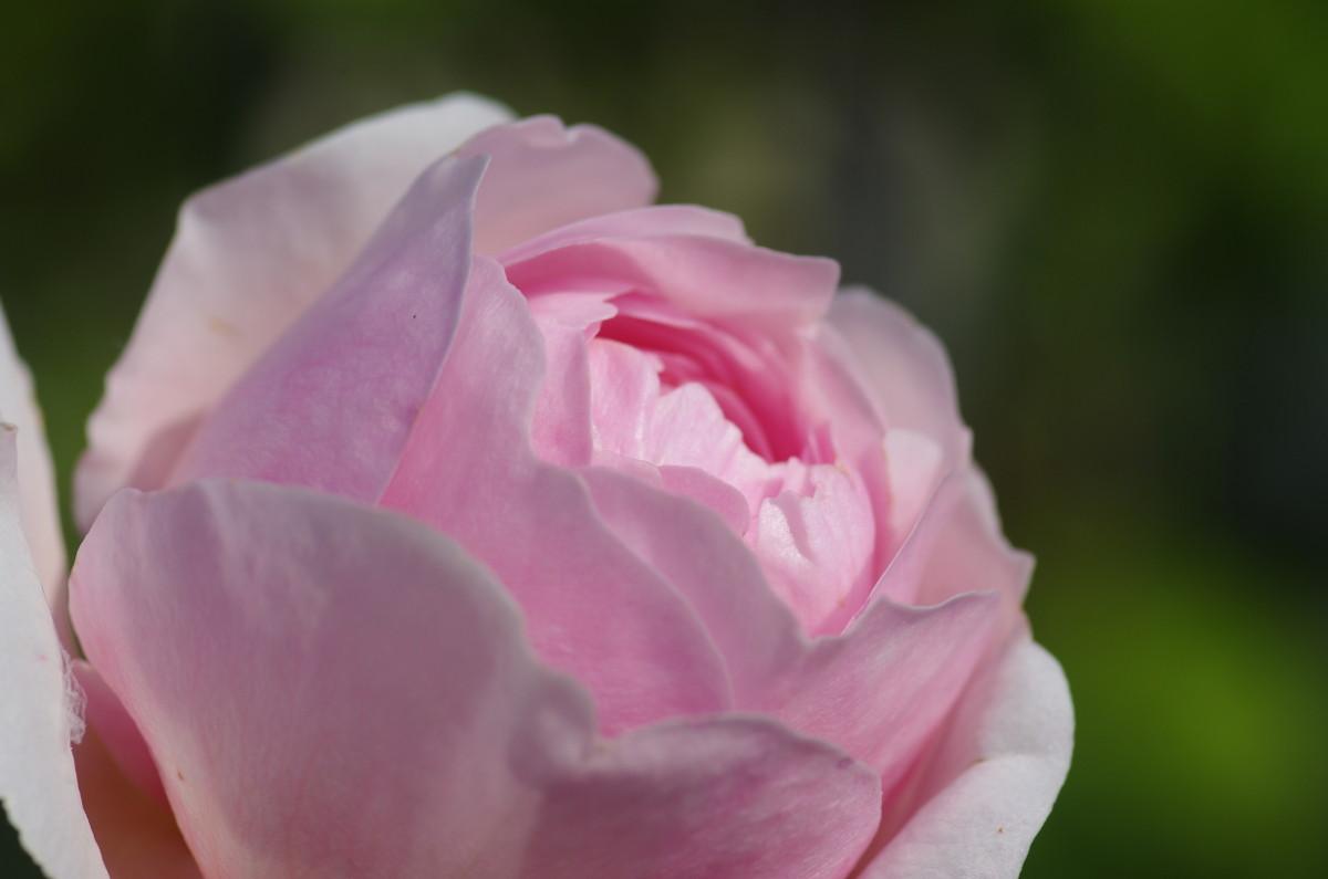 2013.05.05 薔薇(ばら)