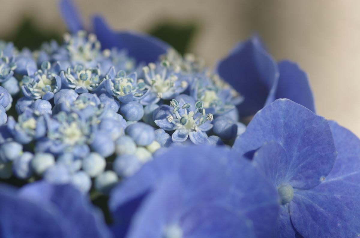 2014.06.19 紫陽花(あじさい)