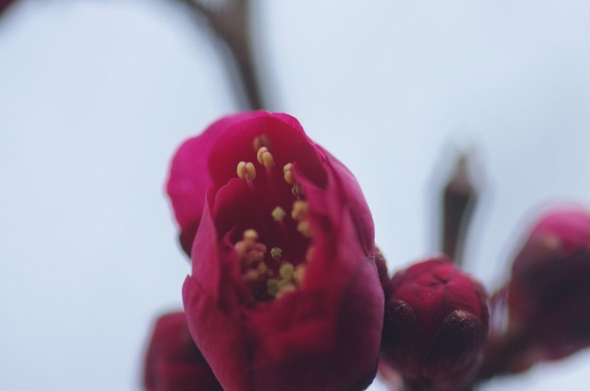 2013.02.24 紅梅(こうばい)