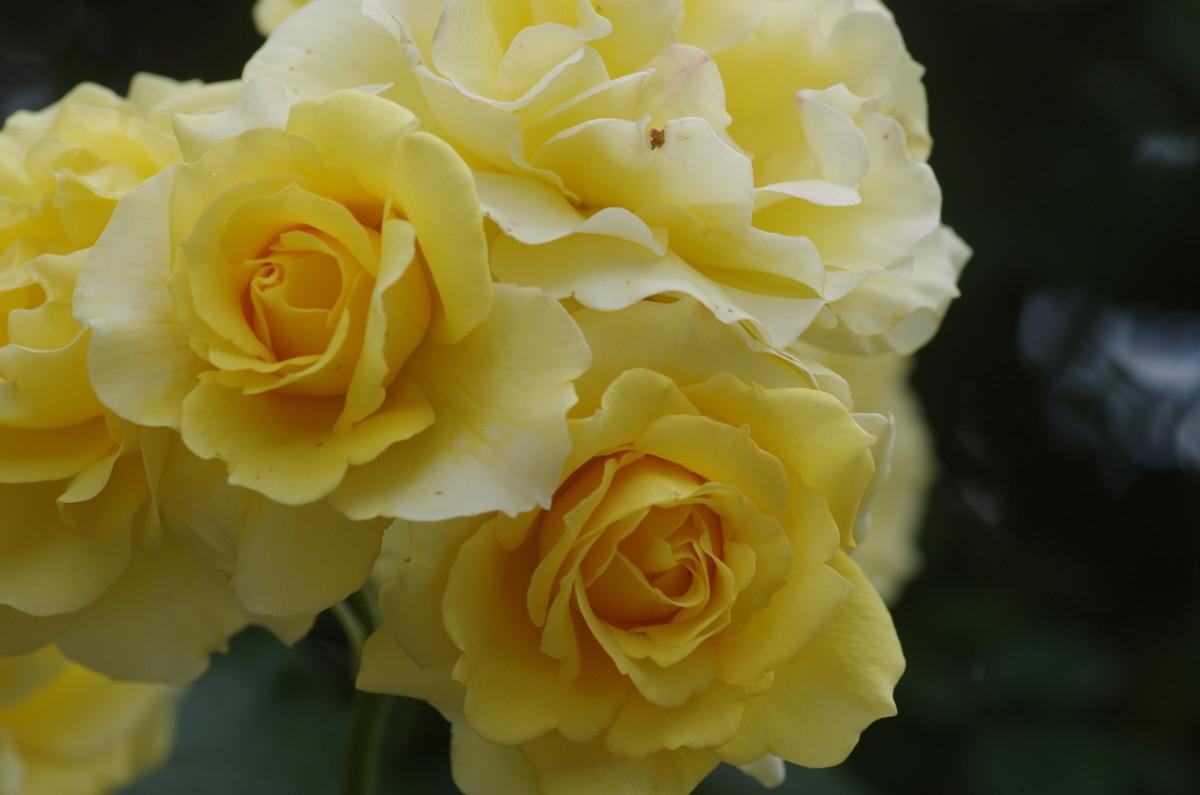 2014.05.31 薔薇(ばら)