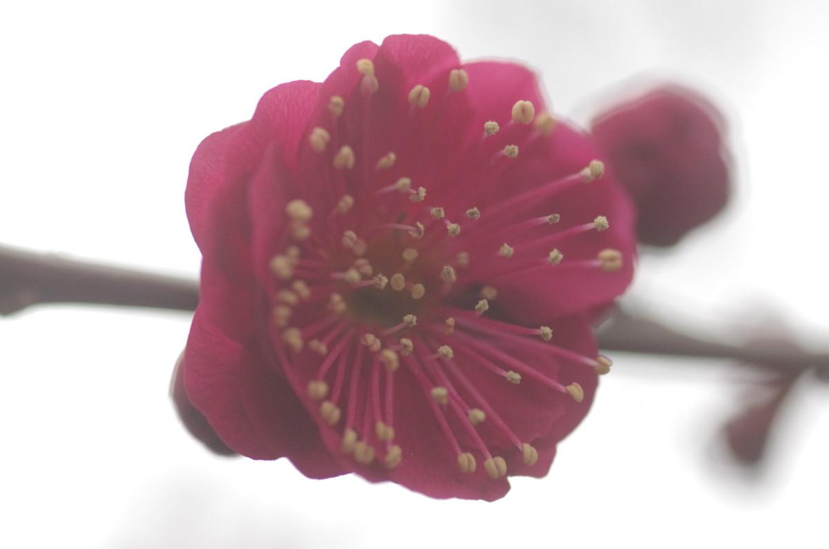 2014.03.08 紅梅(こうばい)