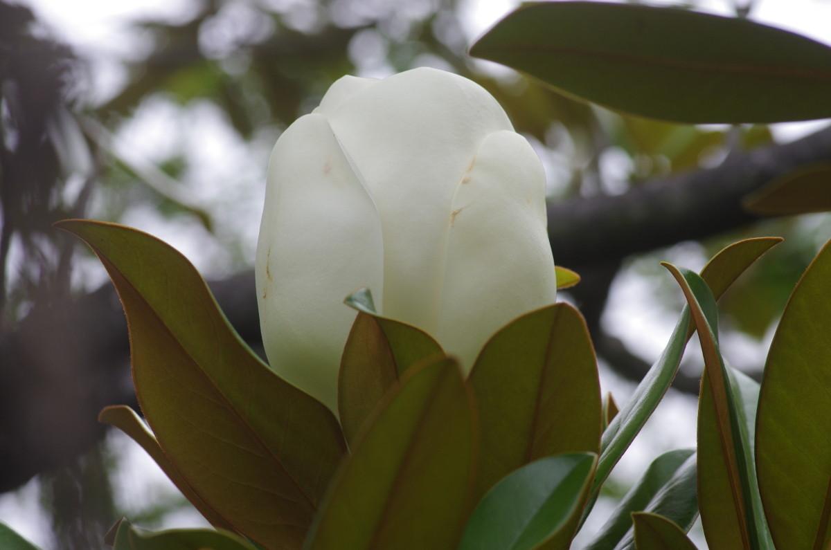 2013.07.04 泰山木 (たいさんぼく)