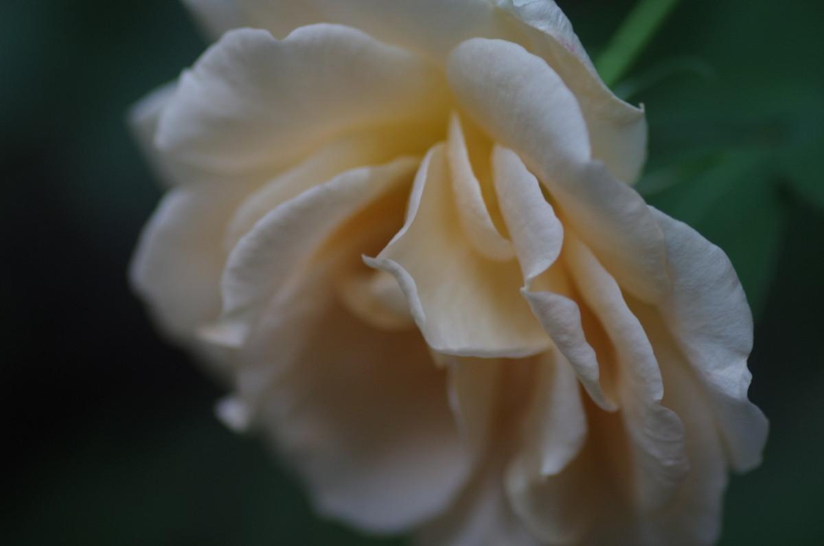 2013.11.17 薔薇(ばら)