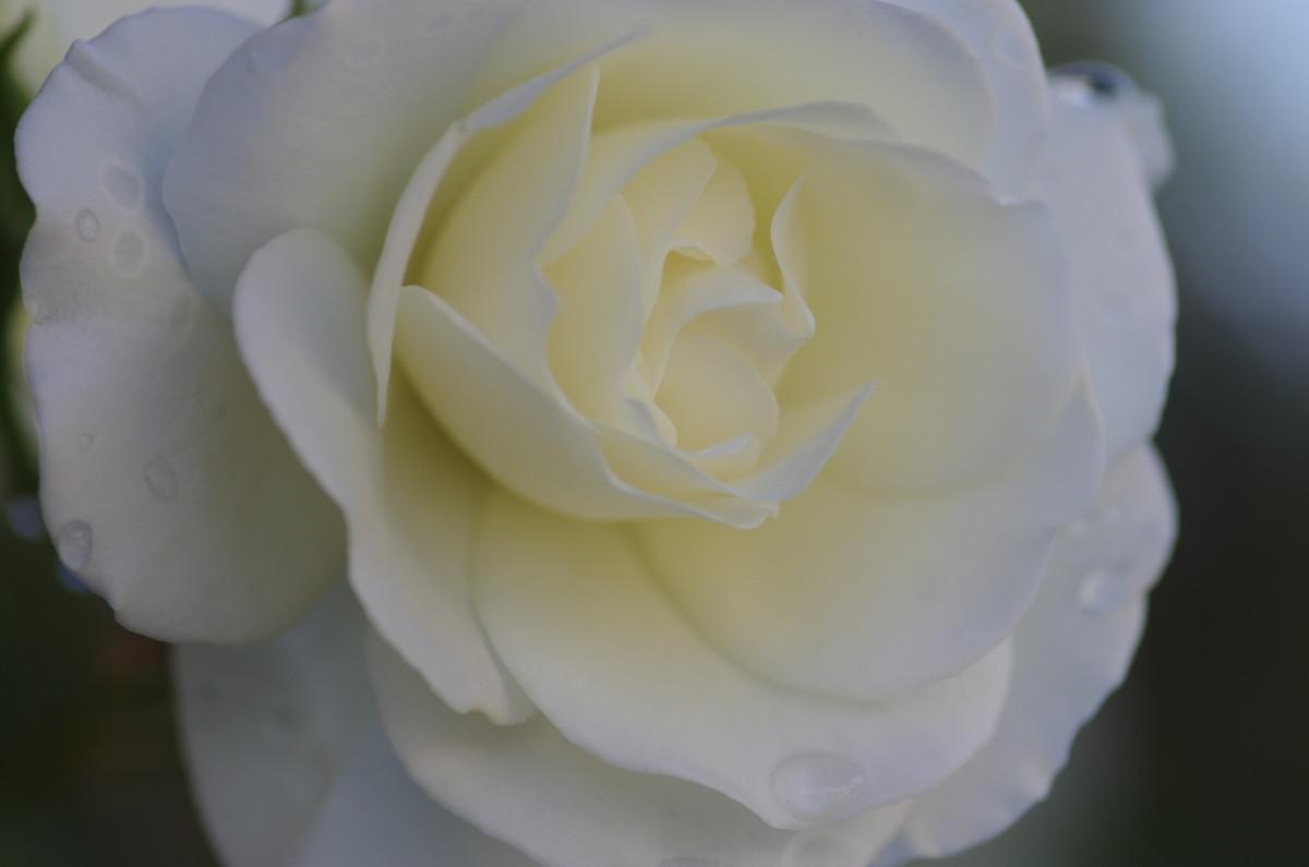 2013.05.12 薔薇(ばら)