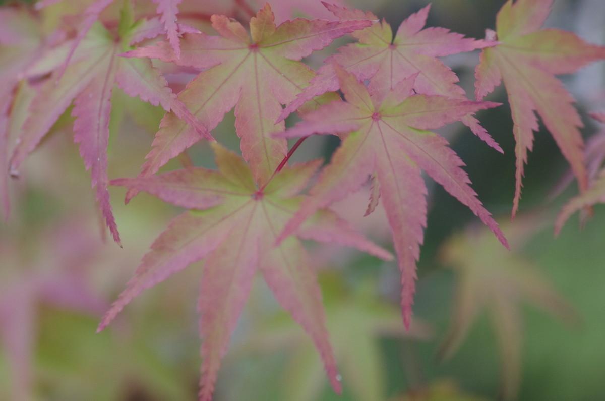 2014.09.28 紅葉(もみじ)