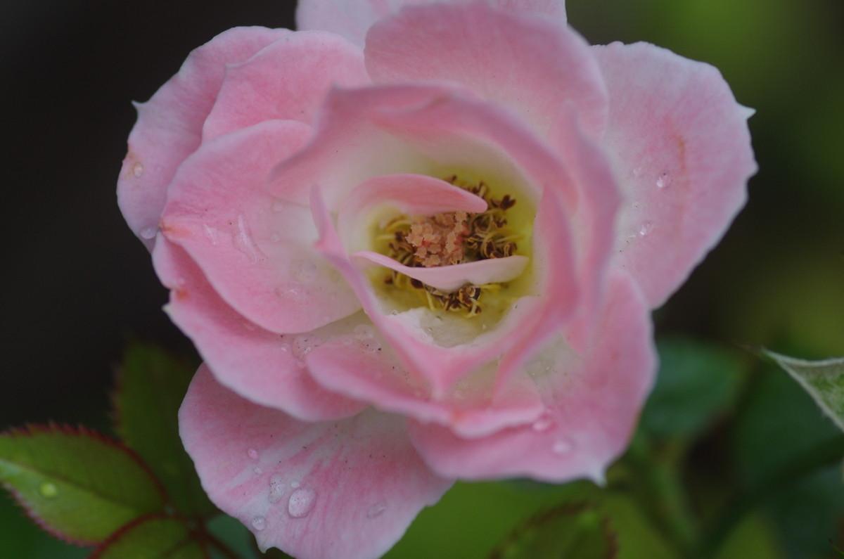 2013.07.24 薔薇(ばら)
