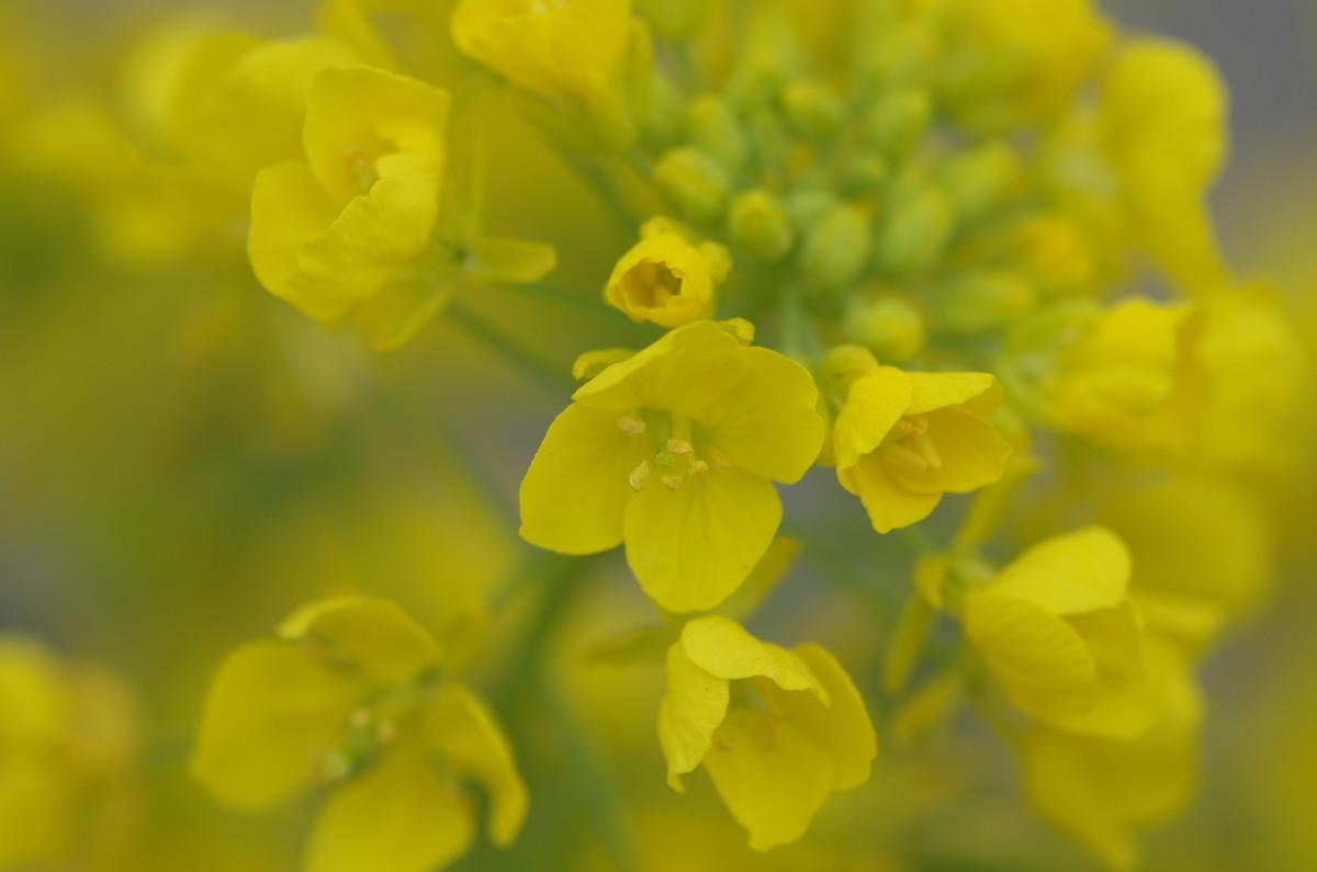 2014.04.10 菜の花(なのはな)