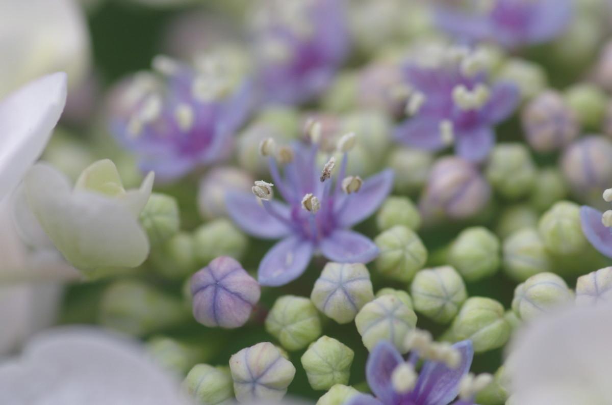 2015.06.14 紫陽花(あじさい)