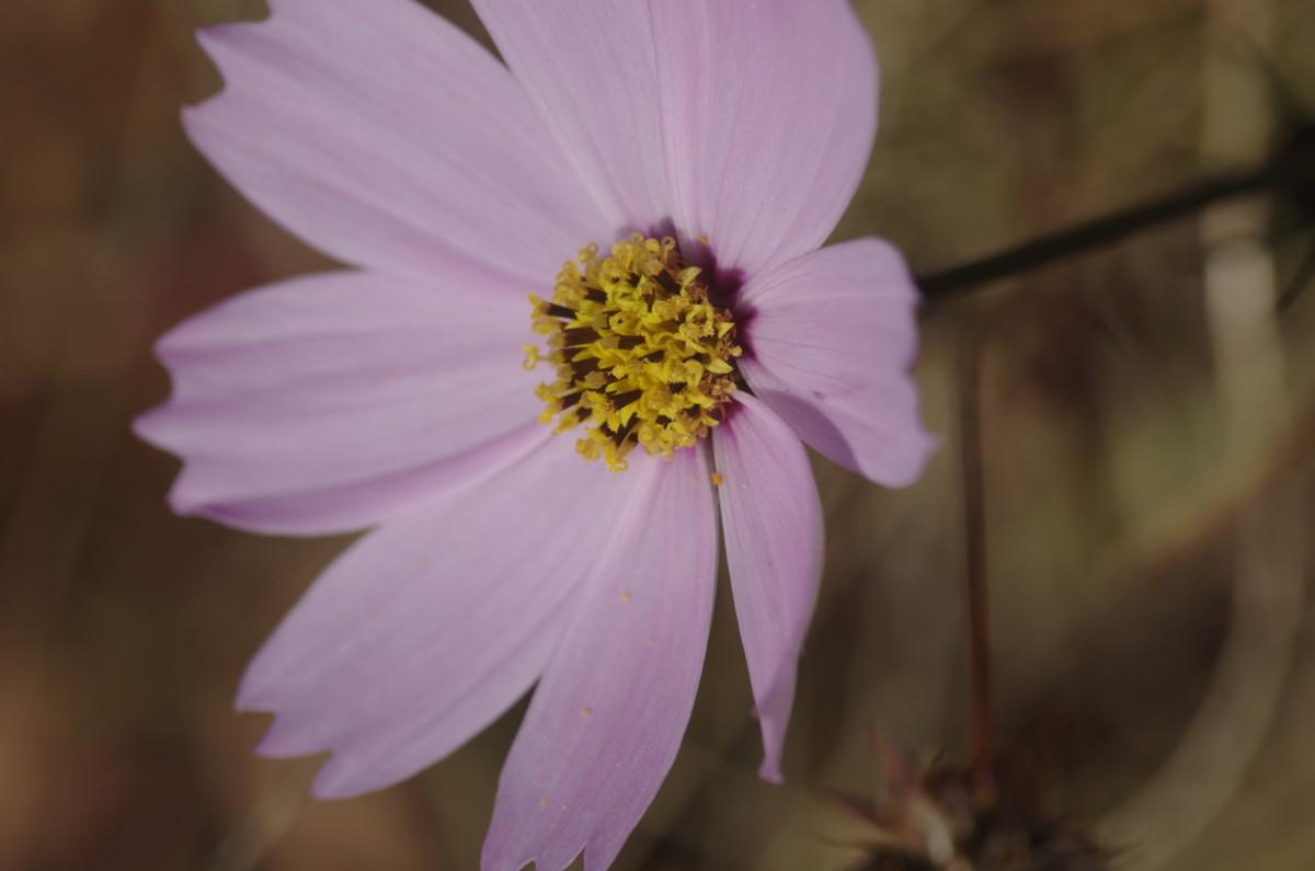 2013.11.30 秋桜(こすもす)