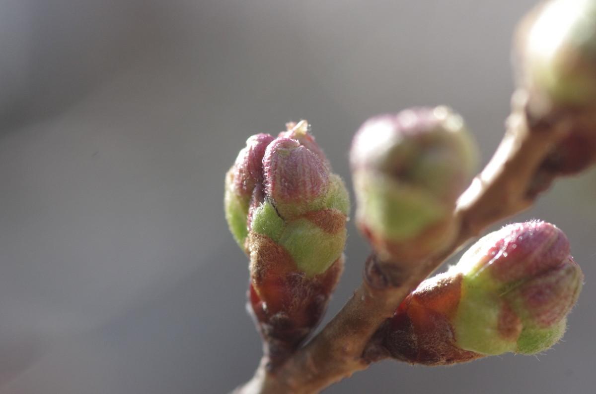 2015.03.21 桜 (さくら)(蕾)