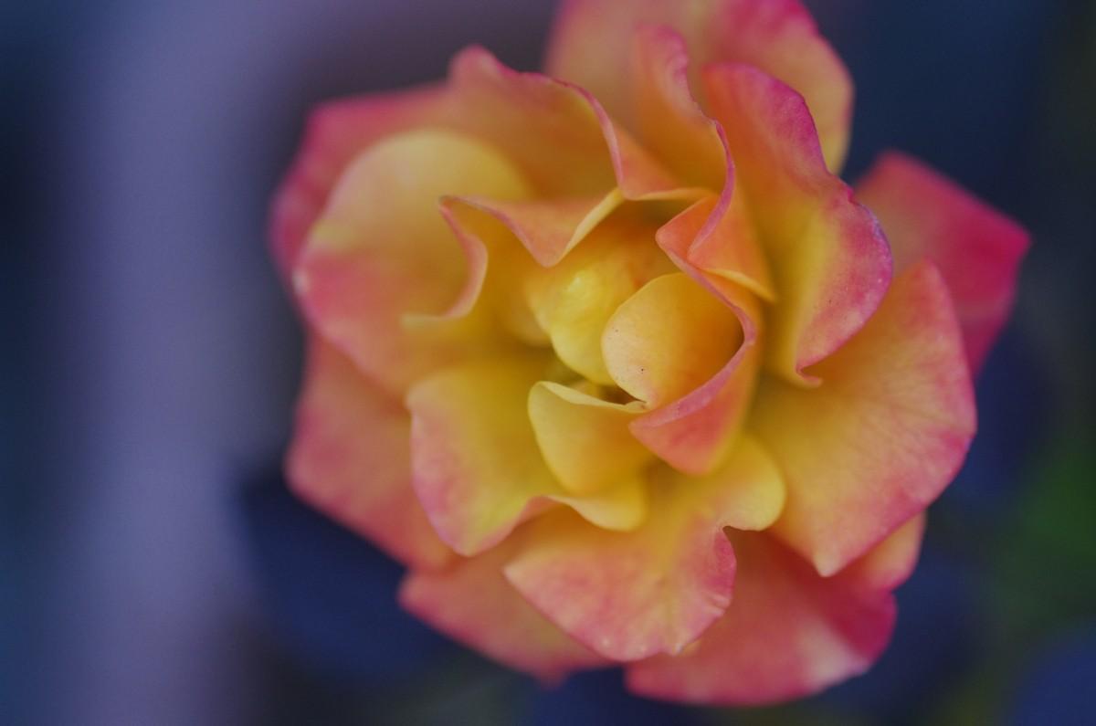 2012.12.31 薔薇(ばら)