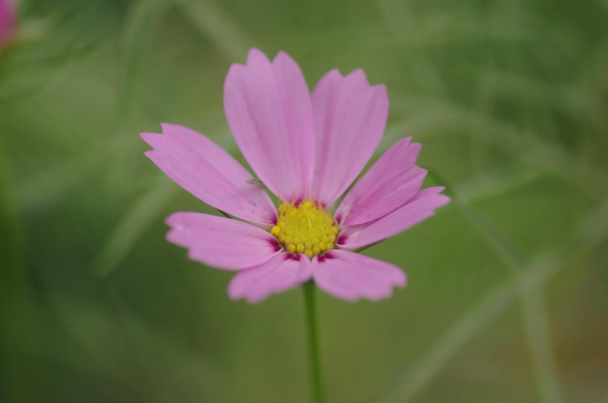 2014.08.10 秋桜(こすもす)