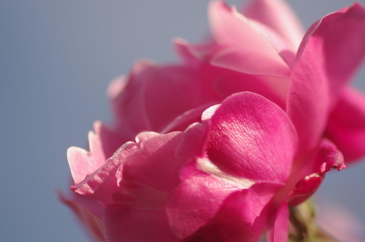 2013.12.12 薔薇(ばら)
