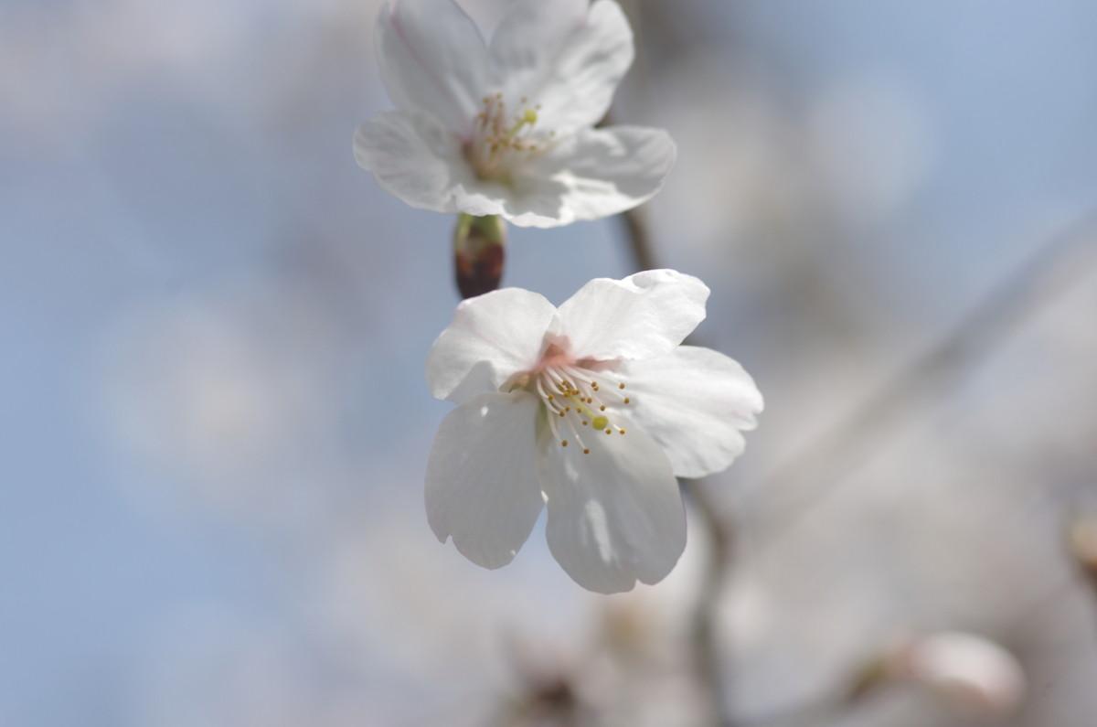 2015.03.27 桜(さくら)