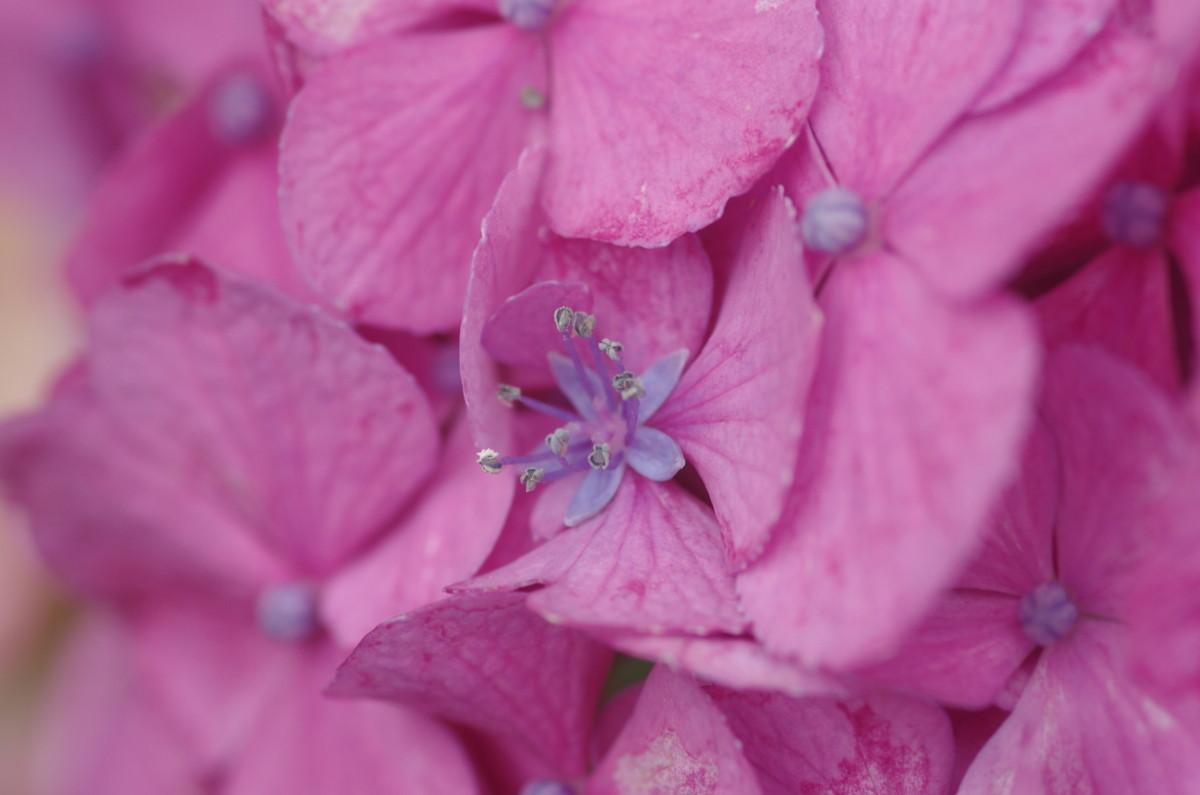 2015.06.25 紫陽花(あじさい)