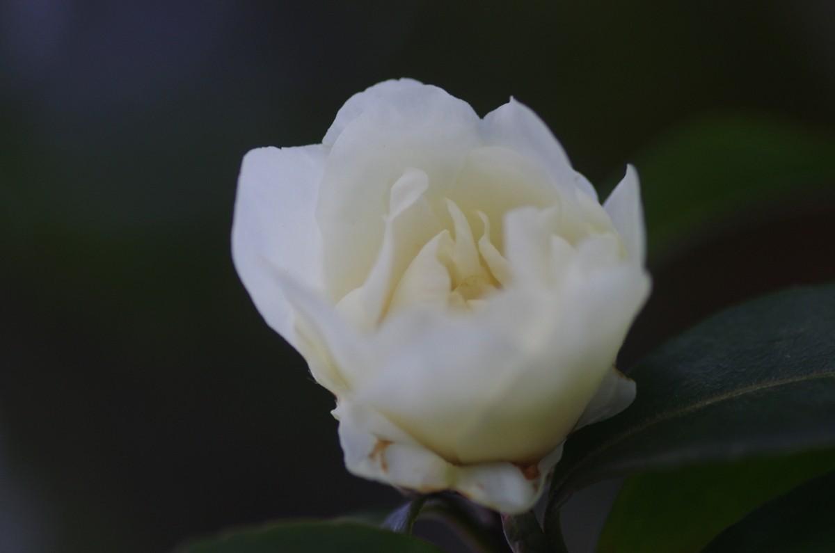 2012.12.28 山茶花(さざんか)