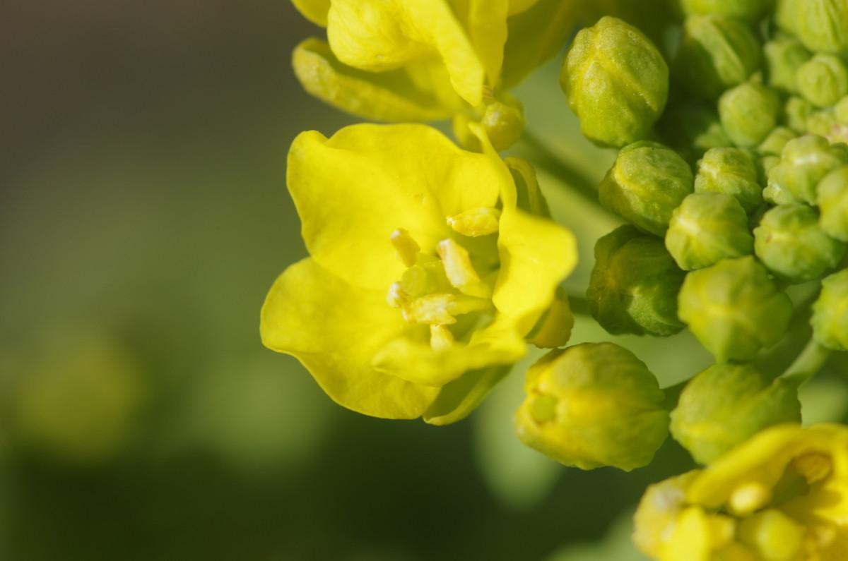 2014.03.16 菜の花(なのはな)