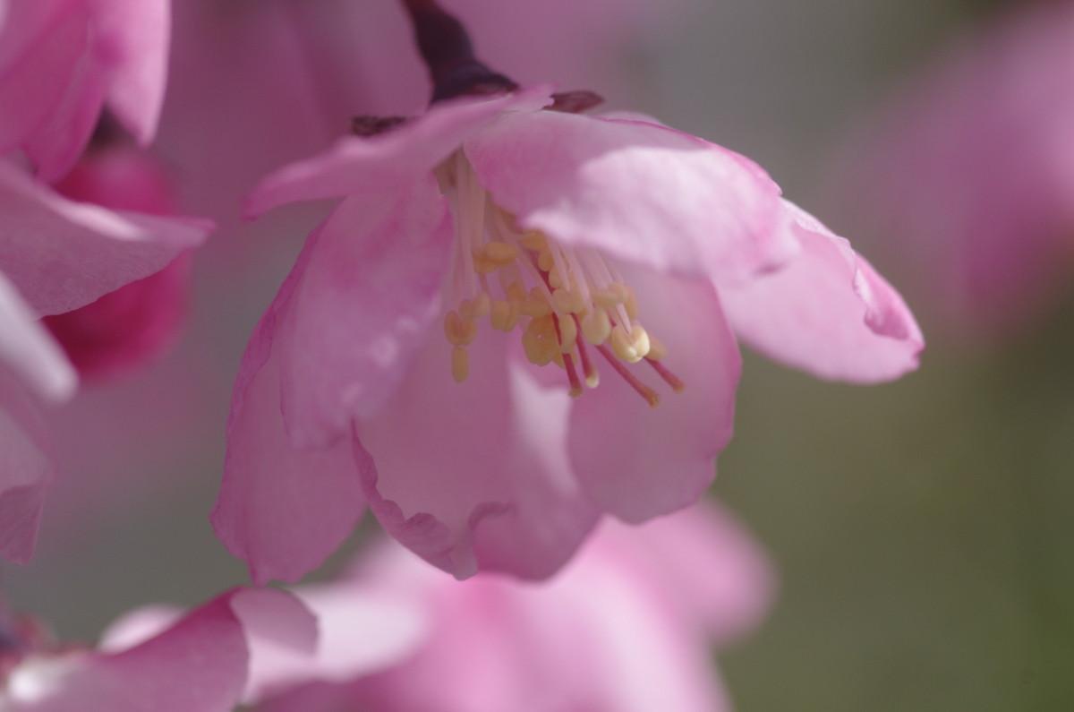 2014.04.17 花海棠 (はなかいどう)