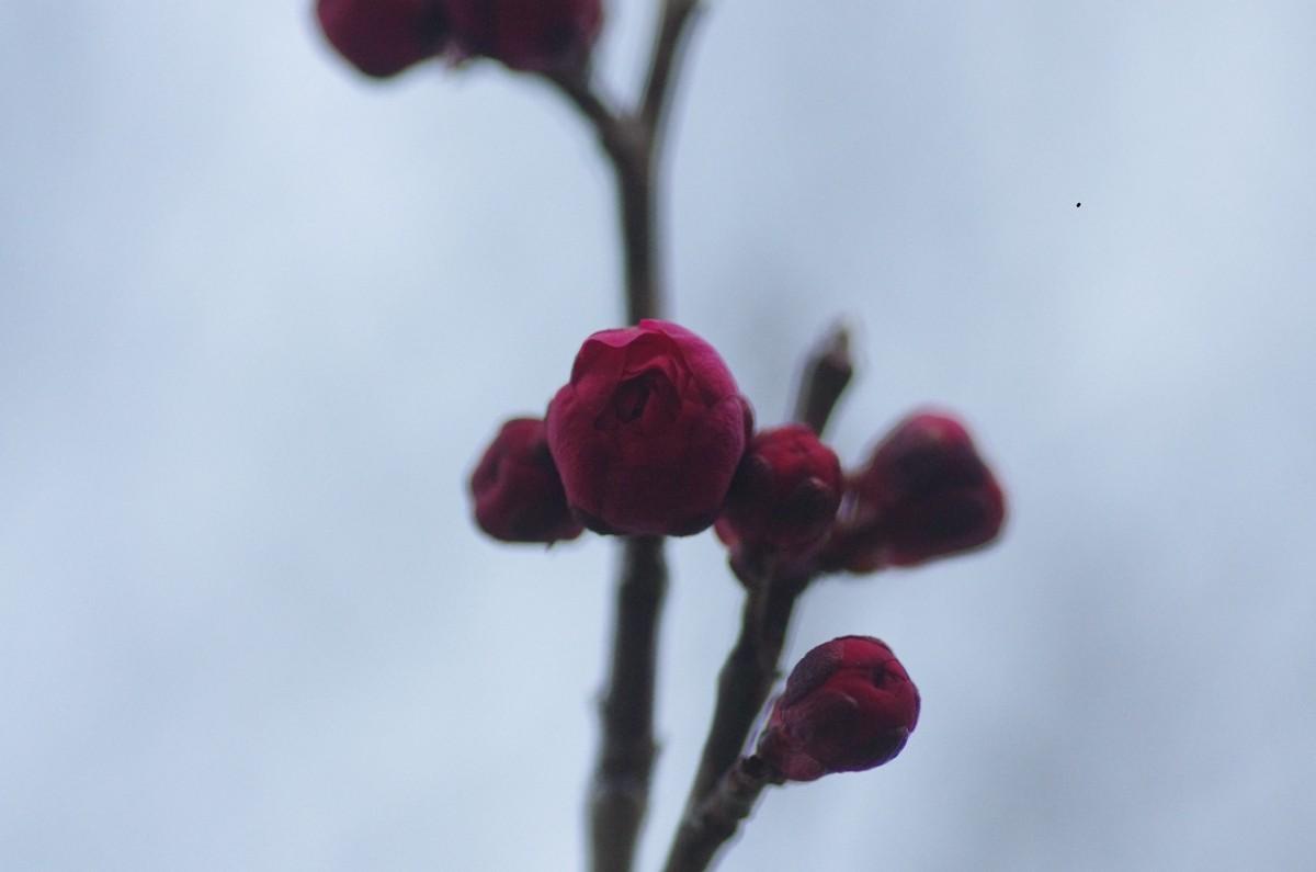 2013.02.21 紅梅(こうばい) 蕾