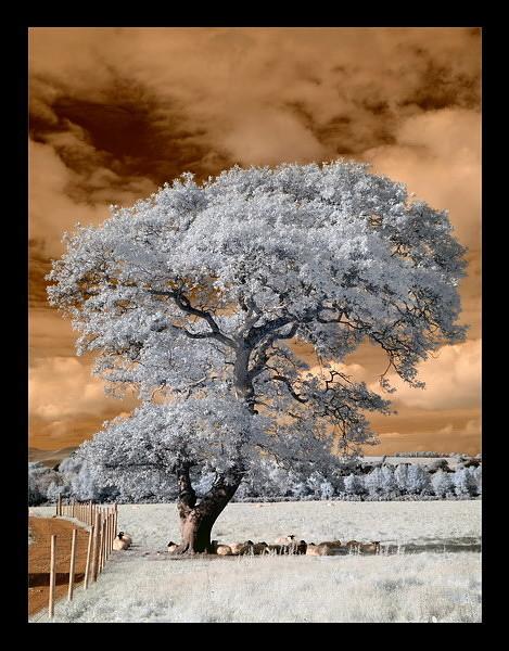 Tomies Wood / Killarney National Park III (Infrarot)
